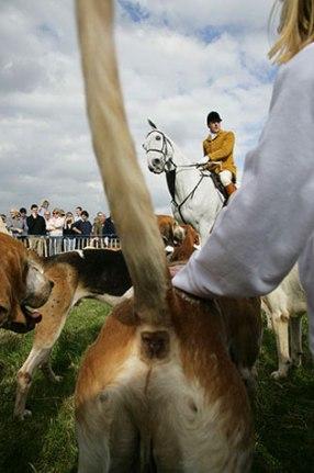 hunting beagles